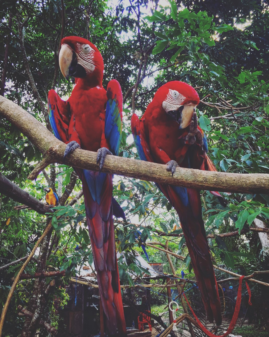 Red and Green macaw couple