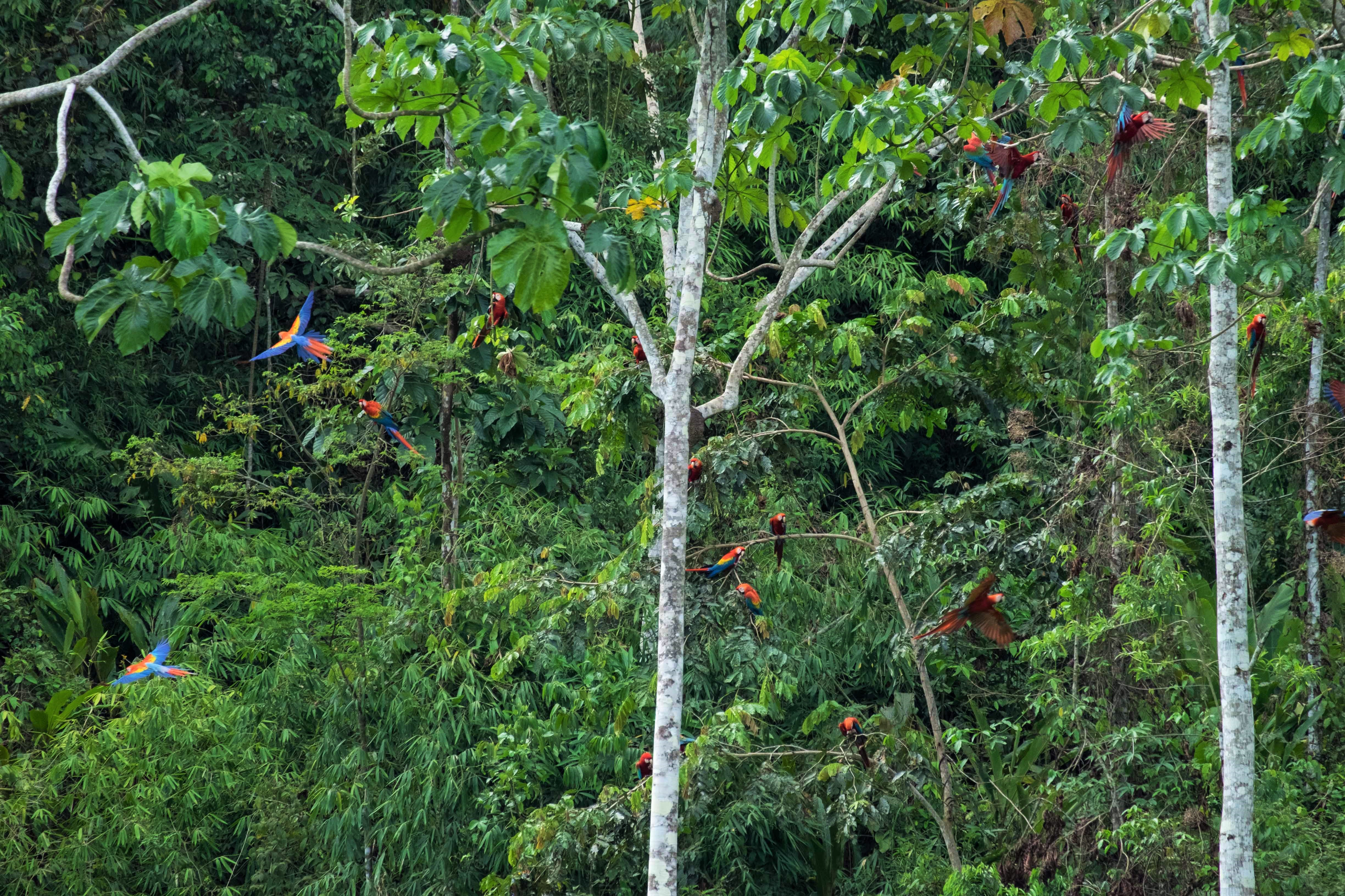 Macaws on trees